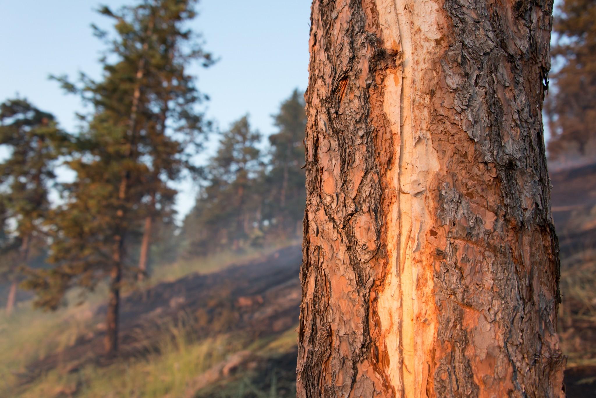 Ponderosa Pine tree trunk