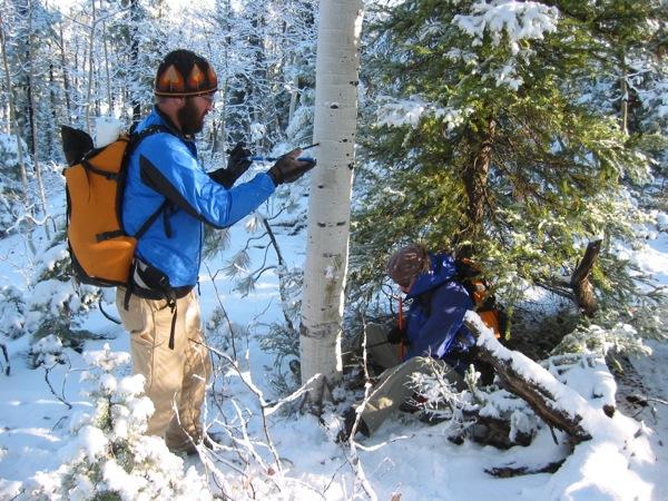 Men coring an aspen tree in winter