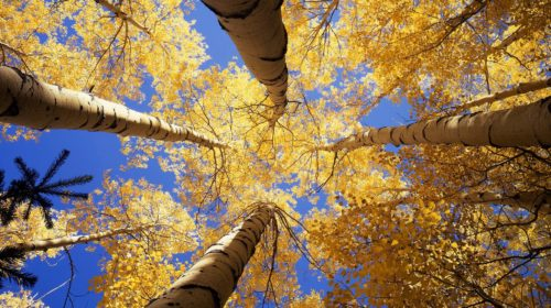 upward view of trees