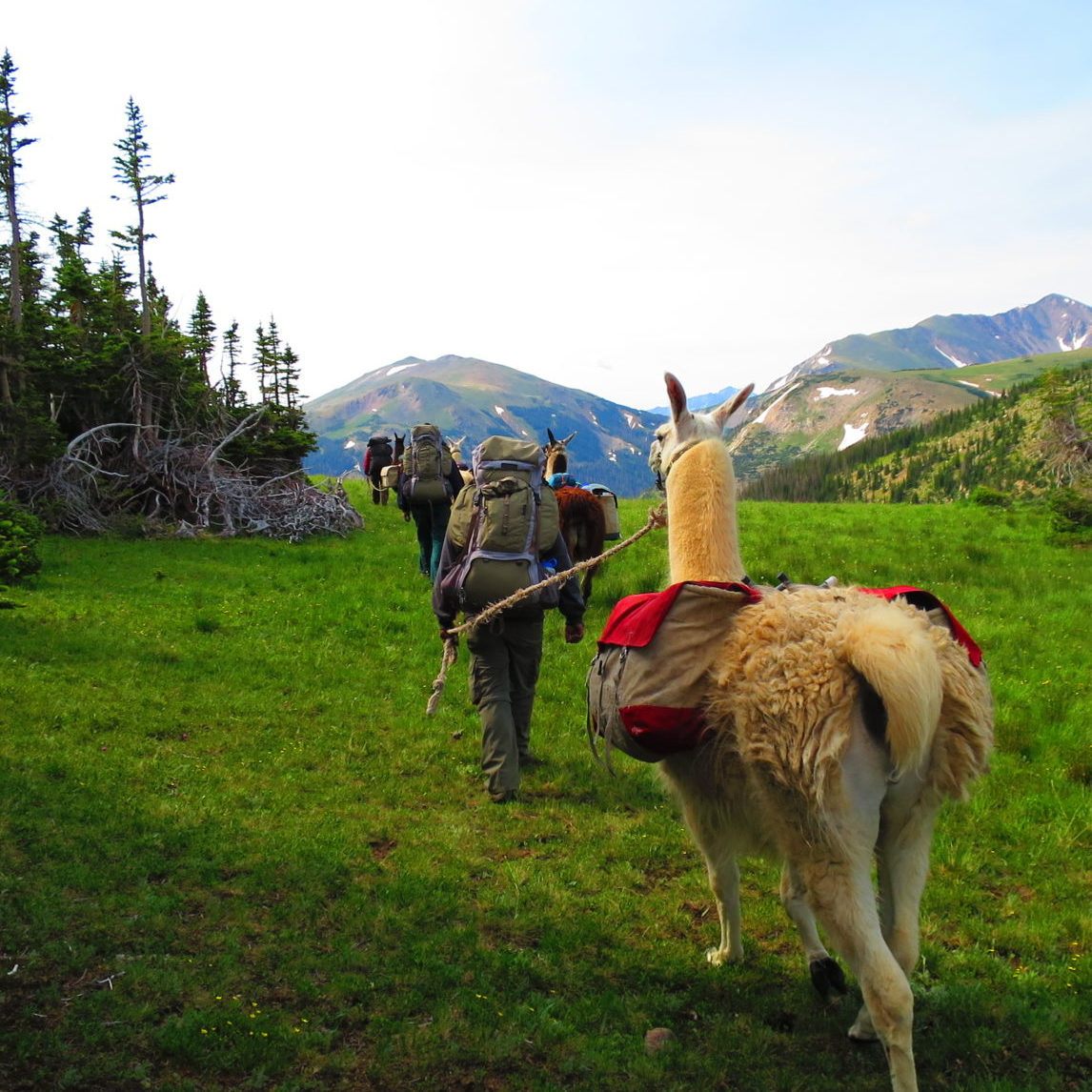 a backpacker leading a llama beside a forest