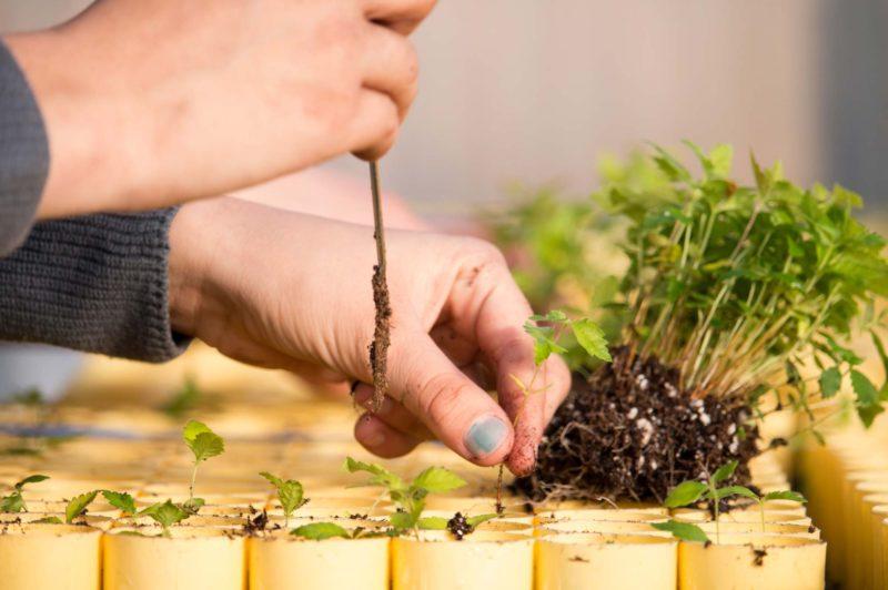 hands planting seedlings
