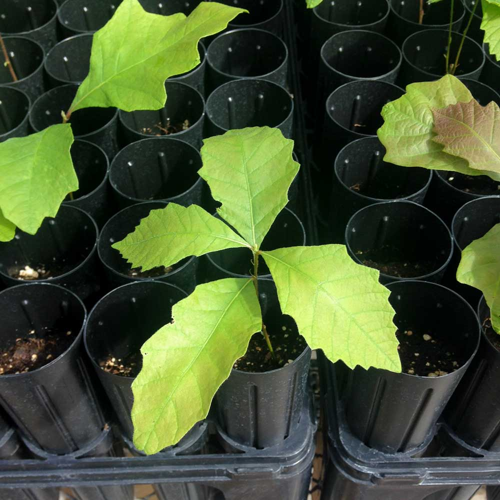 tree seedlings in tubes