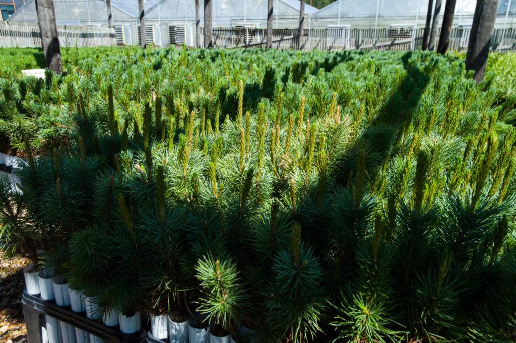 rows of tree seedlings