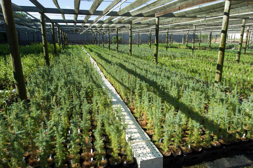rows of tree seedlings