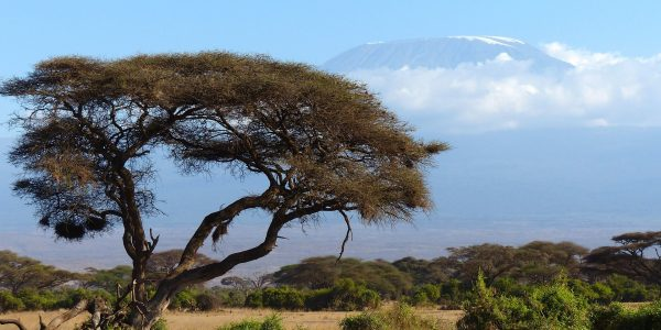 image of tree in foreground, Mt. Kilimanjaro in the background