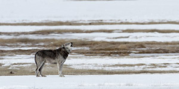 image of wolf on snow howling