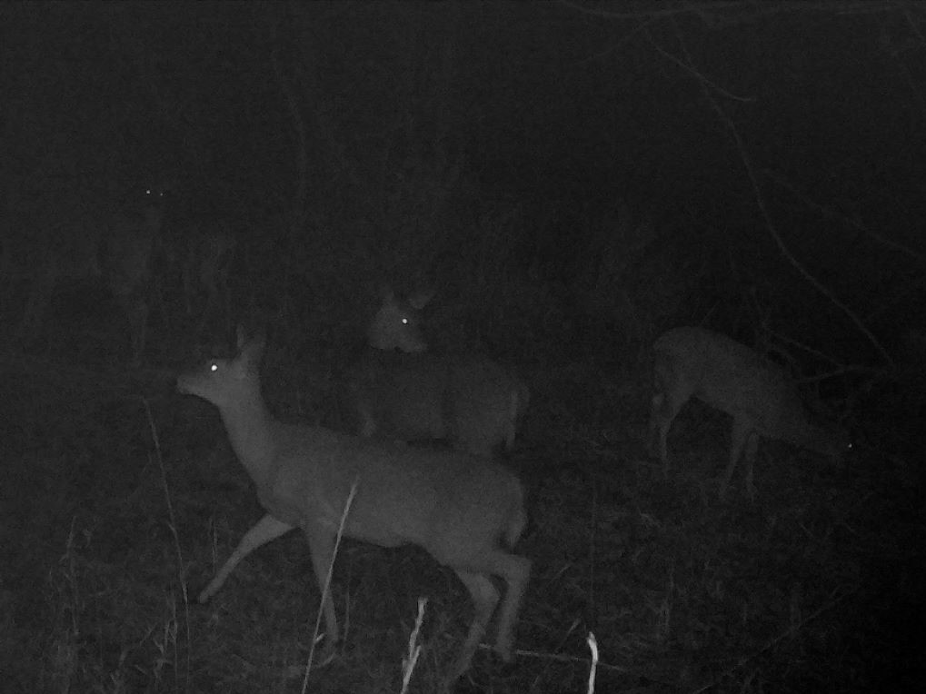 Several deer at night