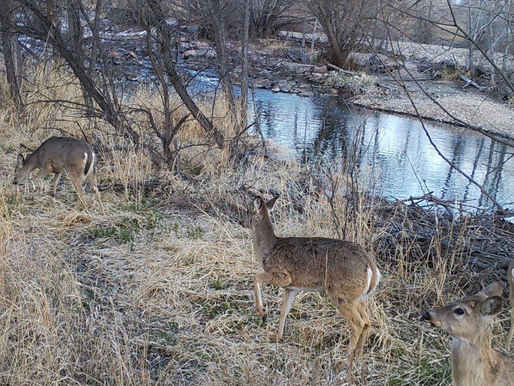Three deer walking