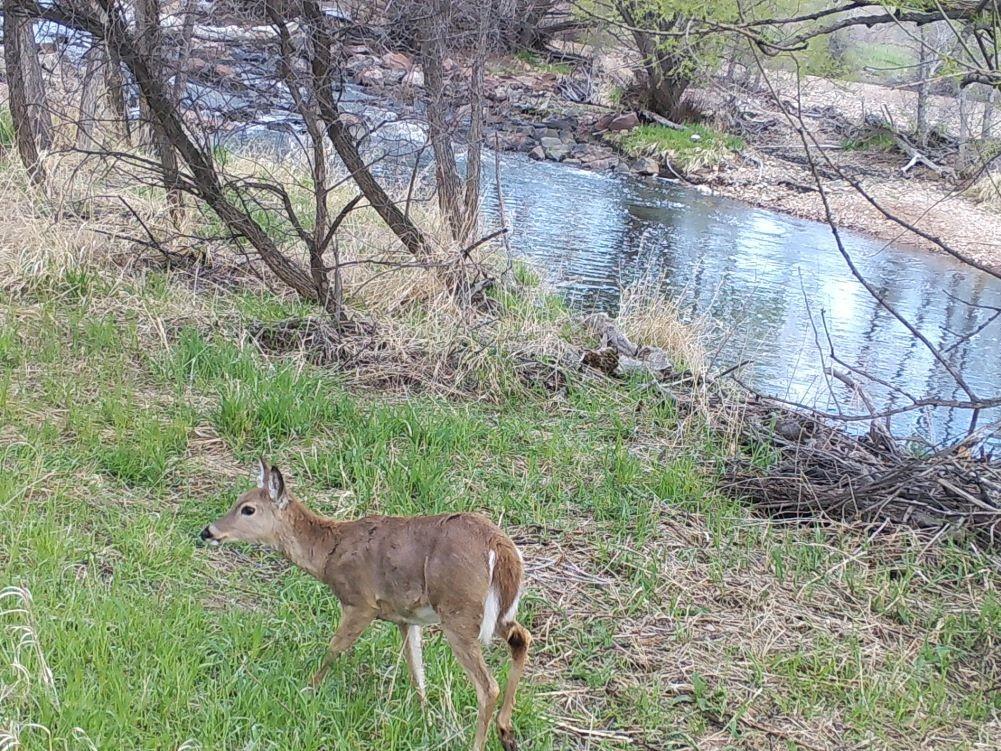 Deer walking near river