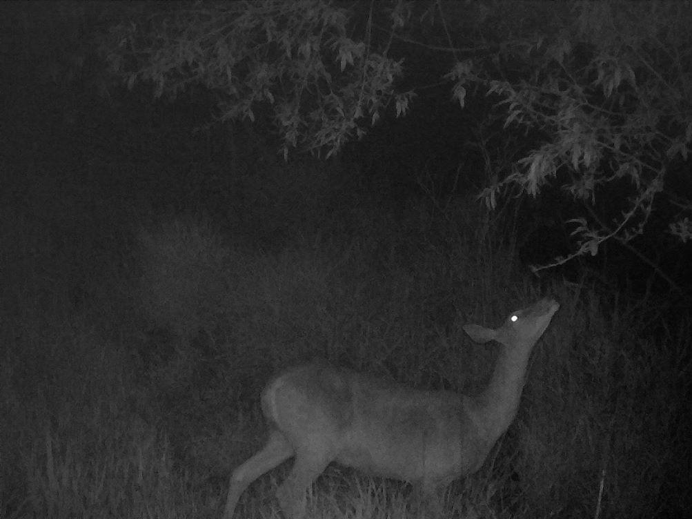 Deer walking at night