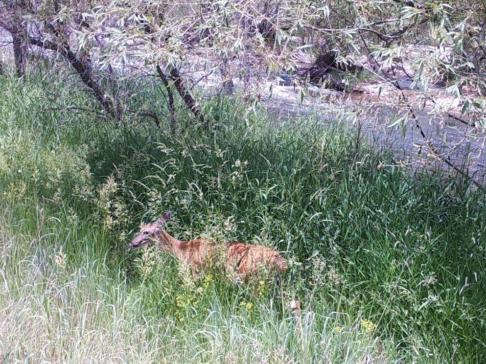 Deer walking through grass