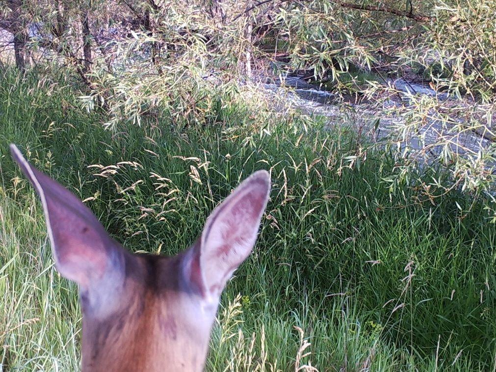 Deer looking at grass