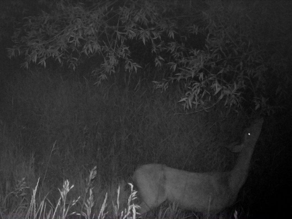 Deer eating leaves at night