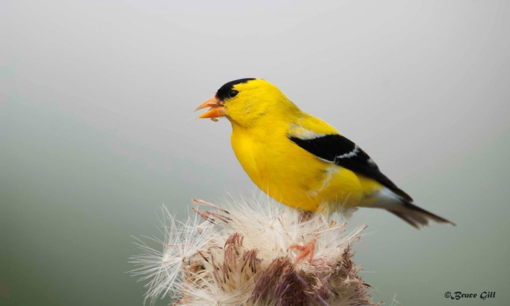 American Goldfinch; Photo courtesy of Bruce Gill