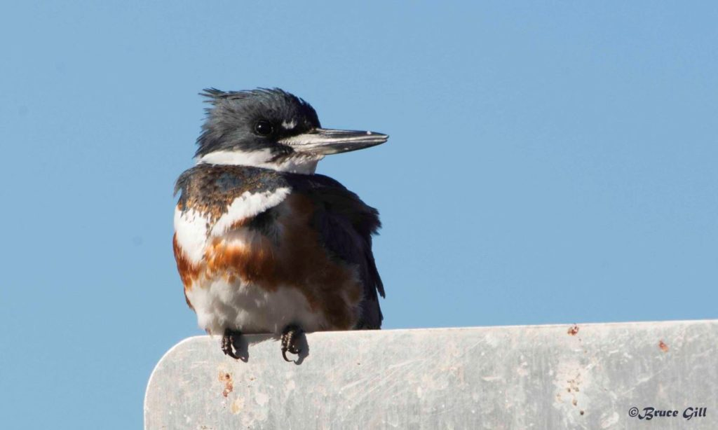 Belted Kingfisher; Photo courtesy of Bruce Gill