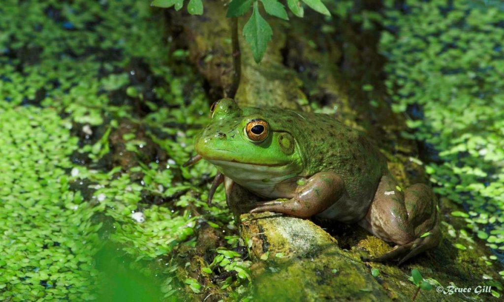 Bullfrog; Photo courtesy of Bruce Gill