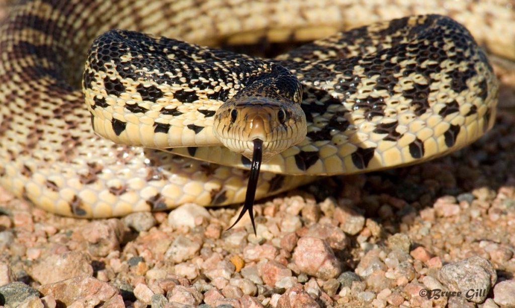 Bull Snake; Photo courtesy of Bruce Gill