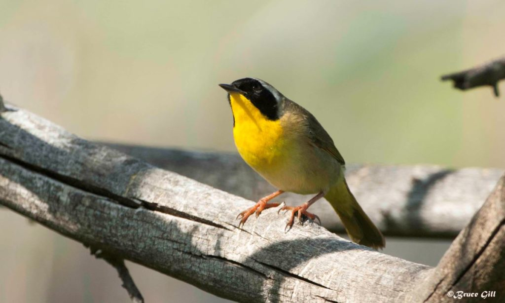 Common Yellowthroat; Photo courtesy of Bruce Gill