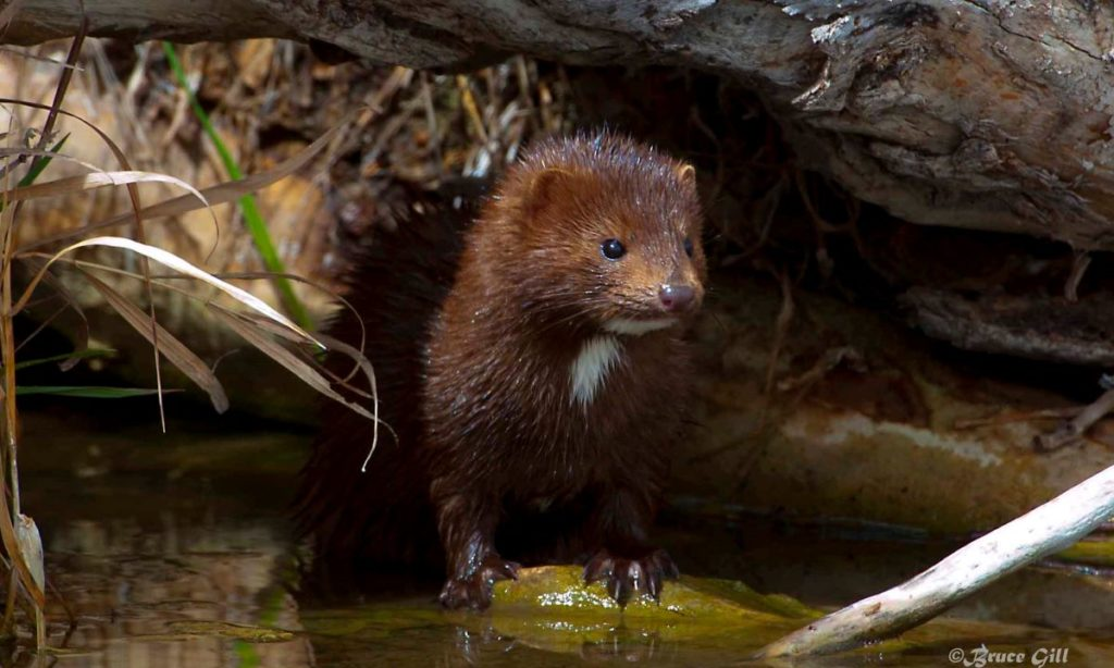 Mink; Photo courtesy of Bruce Gill