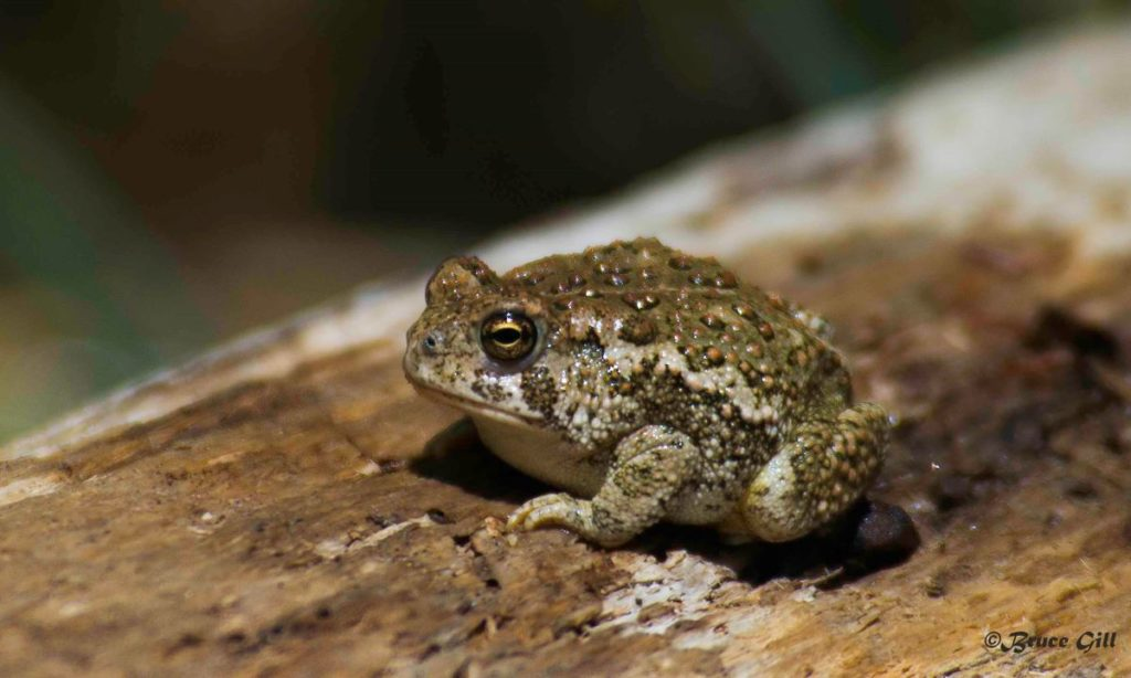 Woodhouse's Toad; Photo courtesy of Bruce Gill