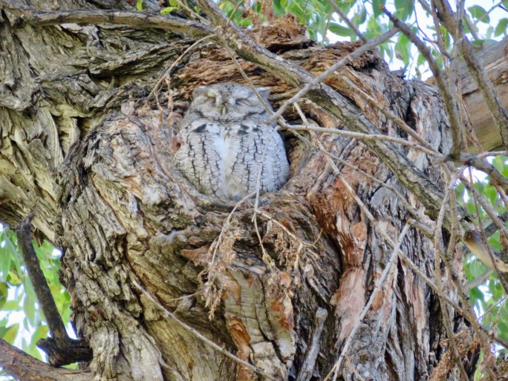 Owl perched in a tree; Photo courtesy of Sloan Manifold