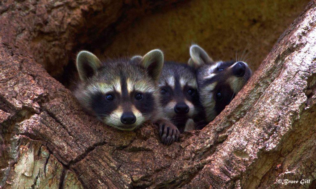 Raccoon kits; Photo courtesy of Bruce Gill