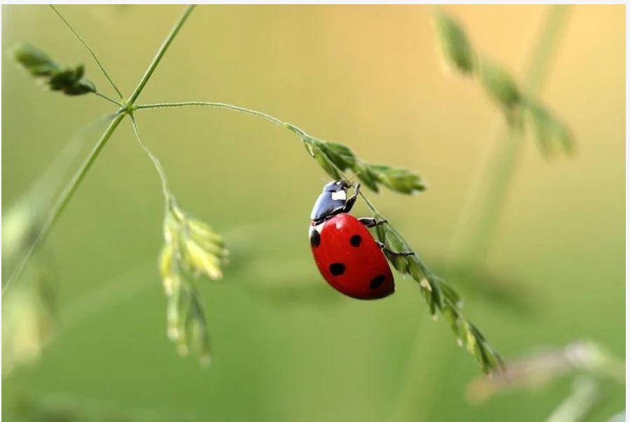 a lady beetle