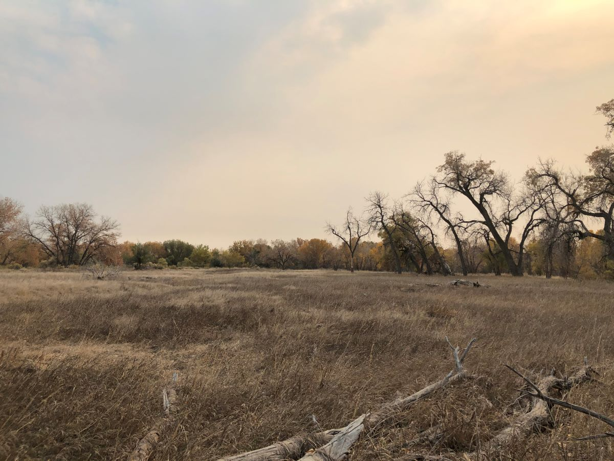 Dry grassland with cottonwood trees in the distance