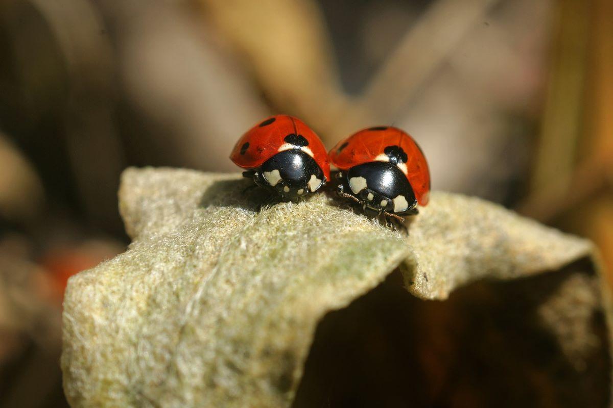 Two ladybird beetles sit on a leaf
