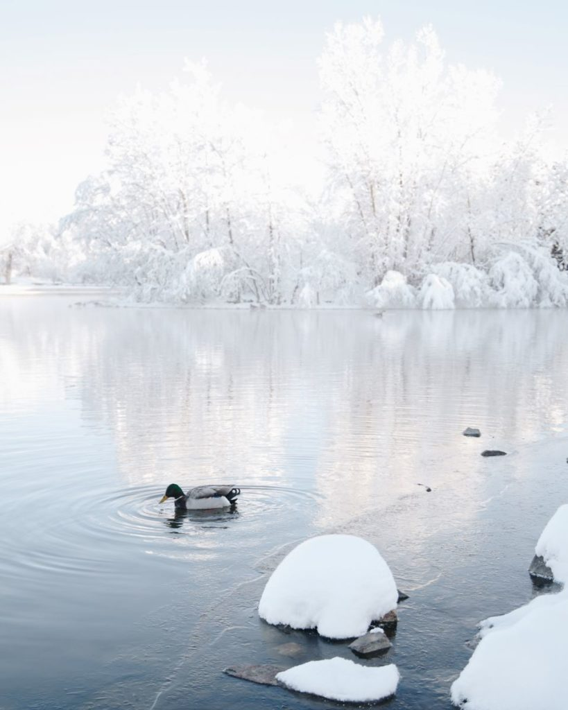 A duck swims in the water in the winter