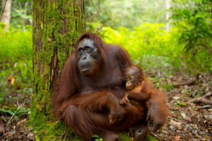 orangutan holds baby in lap